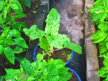 swiss chard seems to be doing quite well in guyana :)