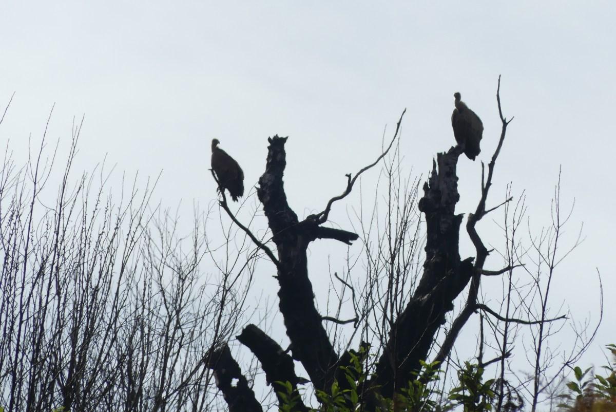 Ambiance vautours