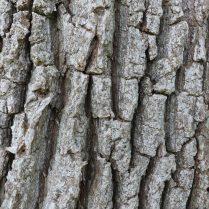 Ecorce de chêne