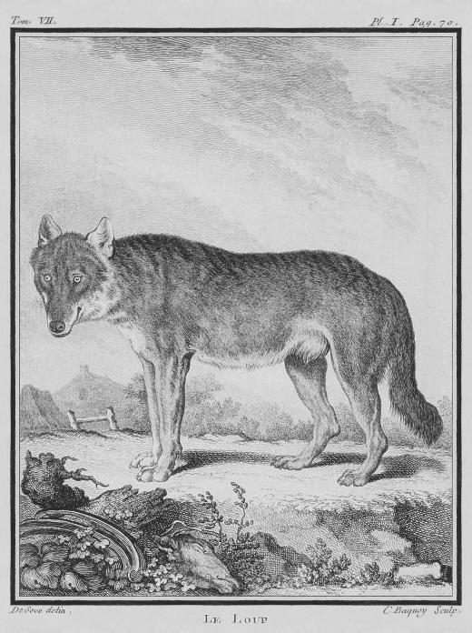 Loup Dessin HAJDE