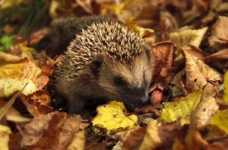 brown and black hedgehog standing on brown dry leaved