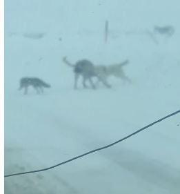 Tilki kaçtı köpekler kovaladı