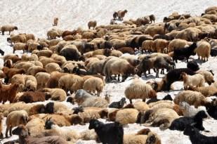 Sıcaktan bunalan koyunların 3000 rakımda kar keyfi