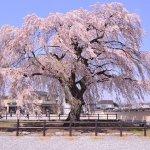 【4/29~5/14】北斗桜回廊(北斗市)
