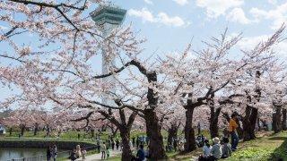 2016年、函館の桜は4月24日開花宣言!