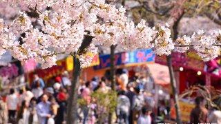 2016年、函館公園の露店と五稜郭公園の花見電飾はいつから?