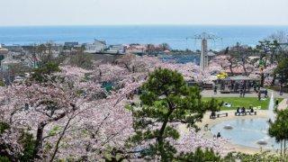 【桜リポート】2018/4/29 満開を迎えた函館の桜スポット4カ所