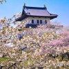 【2019/4/27~5/15】第72回松前さくらまつり (松前町)