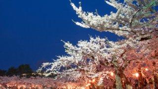 【桜リポート】2018/4/30 五稜郭公園・函館公園の夜桜