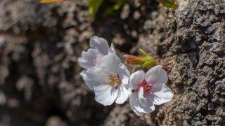 【開花目前】五稜郭公園4月21日の桜