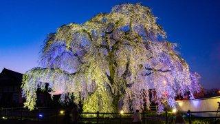 「北斗桜回廊」ライトアップ中止、法亀寺は立ち入り禁止に