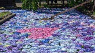 松前藩屋敷で涼しげな「浮き紫陽花」を見る