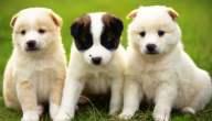 ما هي أنواع كلاب صغيرة الحجم لا تكبر