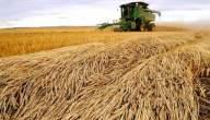 كيفية حصاد القمح .. تعرف على المحصول رقم واحد عالميا