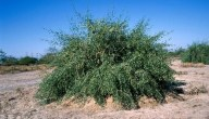 كيفية زراعة شجرة الأراك..أكثر الطرق فعالية ونجاحا لزراعة شجرة الأراك