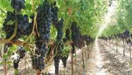زراعة العنب في الأراضي الصحراوية