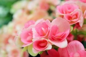 母の日 ベゴニアの花言葉