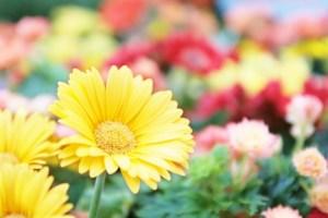 母の日 ガーベラの花言葉
