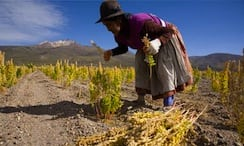 A Bolivian woman harvesting quinoa negro. 'Well-intentioned health and ethics-led consumers here [are] unwittingly driving poverty there.' Photograph: George Steinmetz/Corbis
