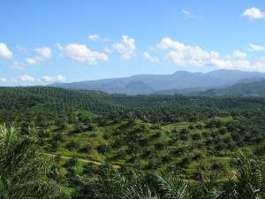 Oil_palm_plantation_in_Cigudeg-03