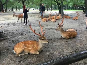 Now You Can see More Deer In Nara