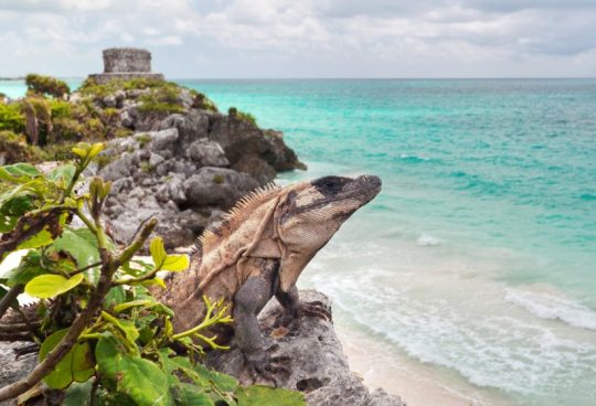 iguana-on-the-cliff-of-tulum-mexico