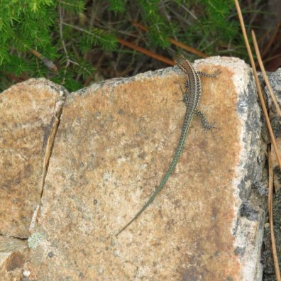 lizard-on-granite