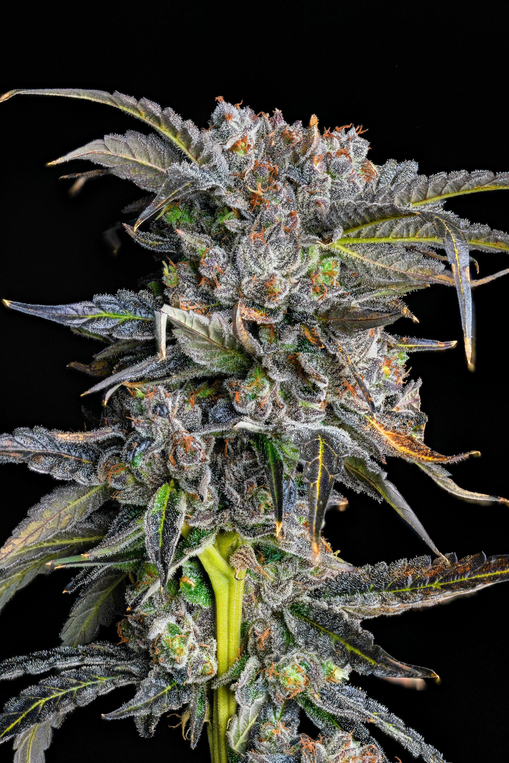 White Cherry Truffle Maine Medical Cannabis by Halcyon Farms