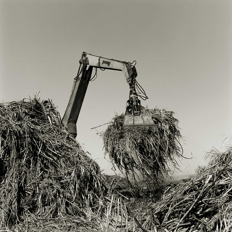Crane holding sugarcane
