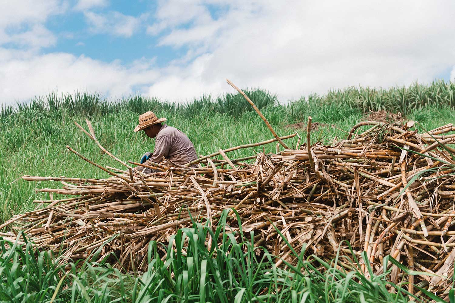 Man in hat working in the sugar cane field