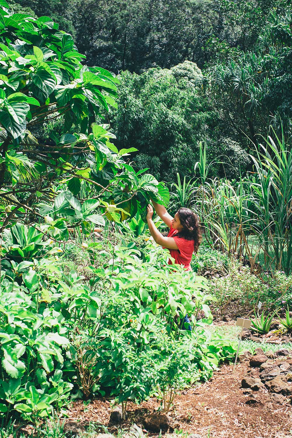 Woman with red shirt picking from a tree