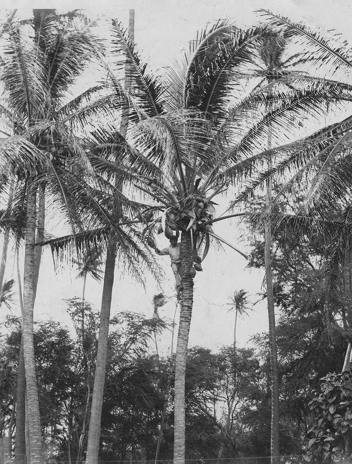 Black and white developed image of a coconut farmer picking nui (coconut) off a tree.