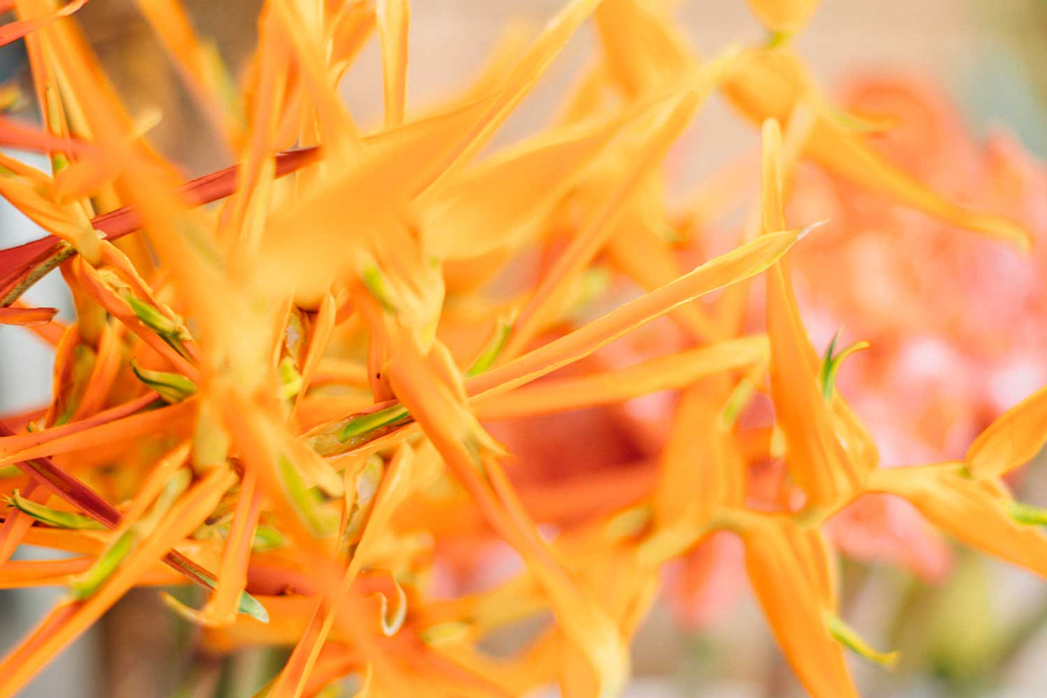 Close up of orange flowers with long, thin petals
