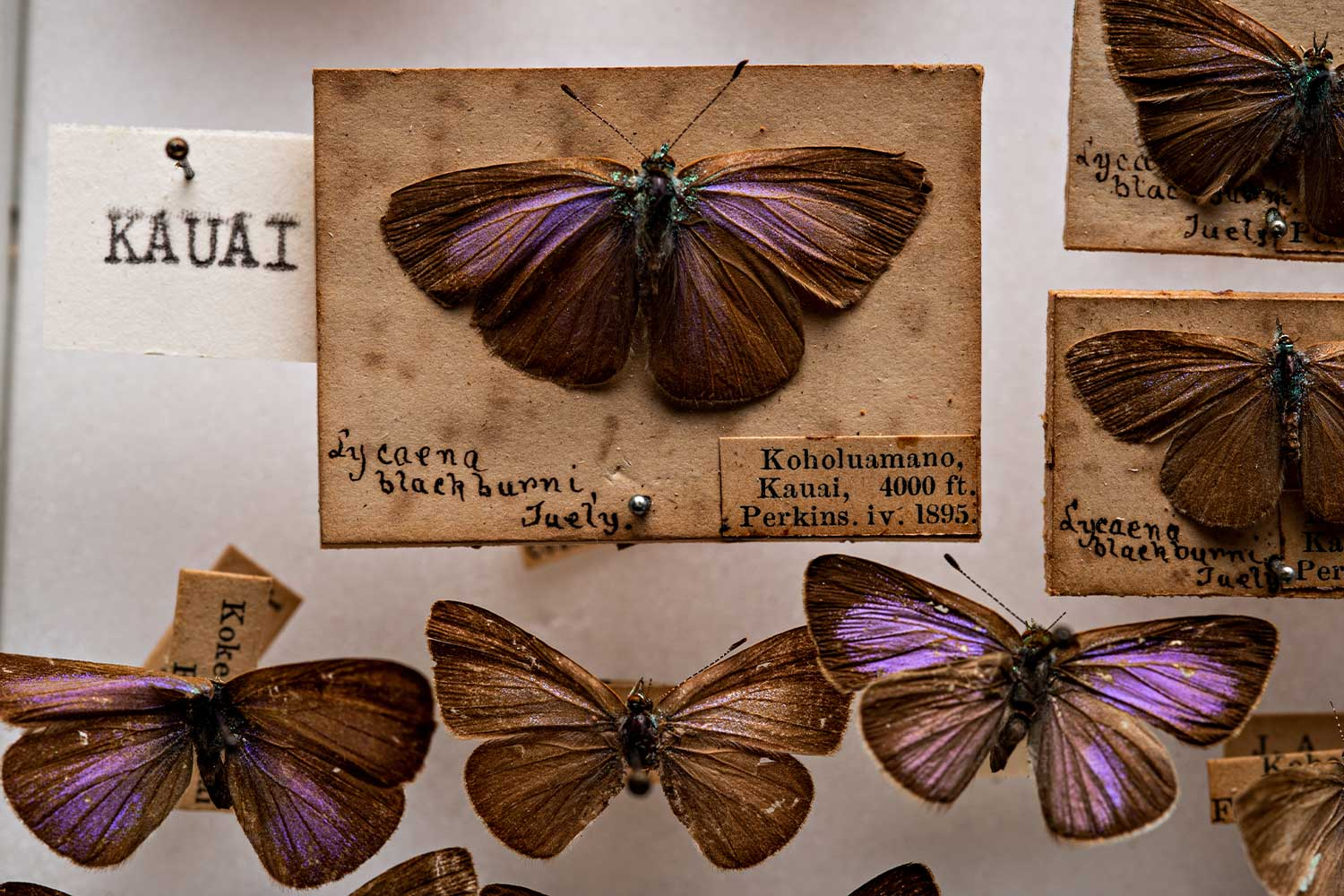 Display cards of a purple detailed butterfly