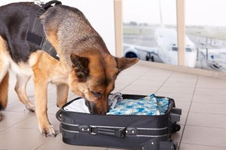 8887524 - airport canine. dog sniffs out drugs or bomb in a luggage.