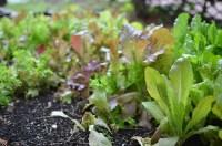 lettuce for miles