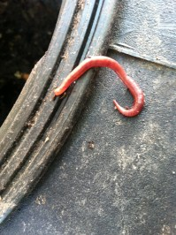 one little red wriggler