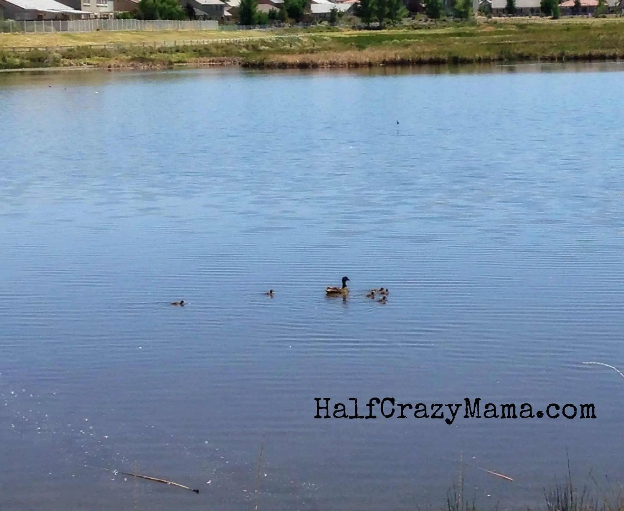 babu ducks