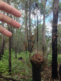 Giant spider on Mt. Tamborine!