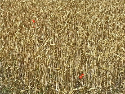 Poppy Field on Ridgeway