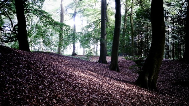 Pulpit Hill - The beech trees growing on and between the double ridges of the Fort area