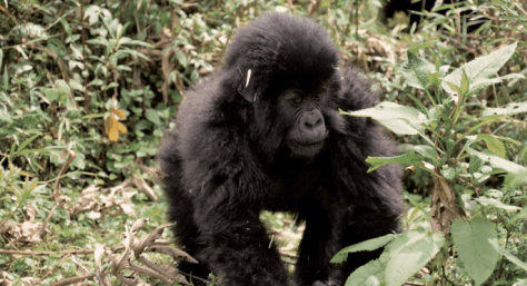 Mountain Gorilla raghoppers Dian Fossey #GorillaHope