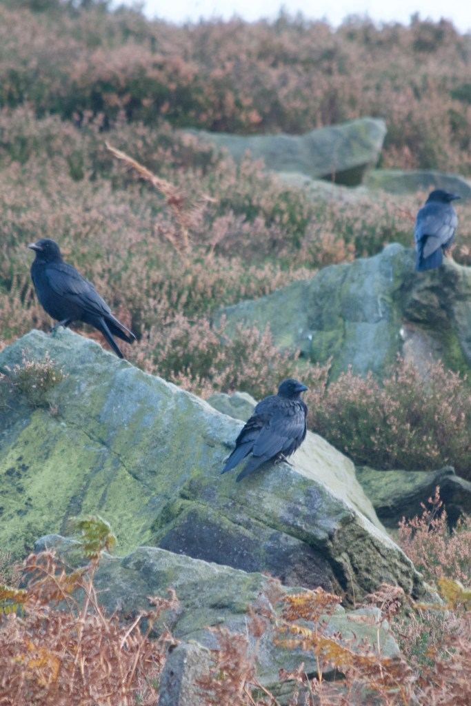 Trio of Crows on Marsden Moor