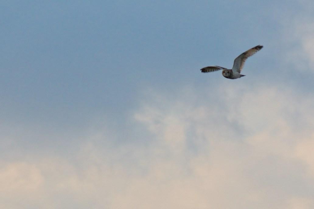 Short Eared owl on Marsden Moor as seen by halfwayhike hike blog