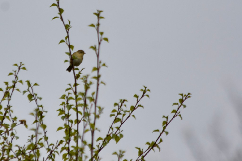Willow Warbler Corn Lane Marsden