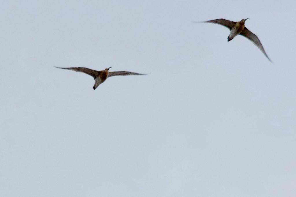 Curlew Marsden Moor pair