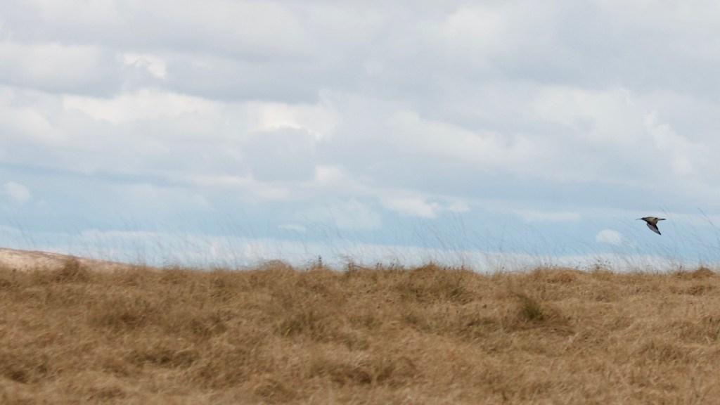 Curlew Marsden Moor flight