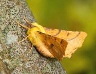 wrekin-moth.jpg