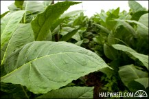 Tobacco leaves almost ready to harvest.