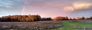 Halifax County Agriculture Cotton Field with Rainbow